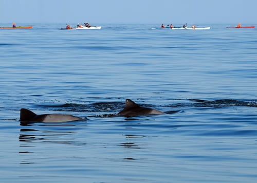 dolphins and sea kayakers